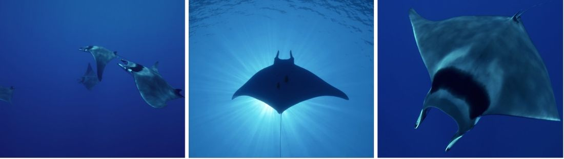 Giant Devil Ray (Mobula mobular)