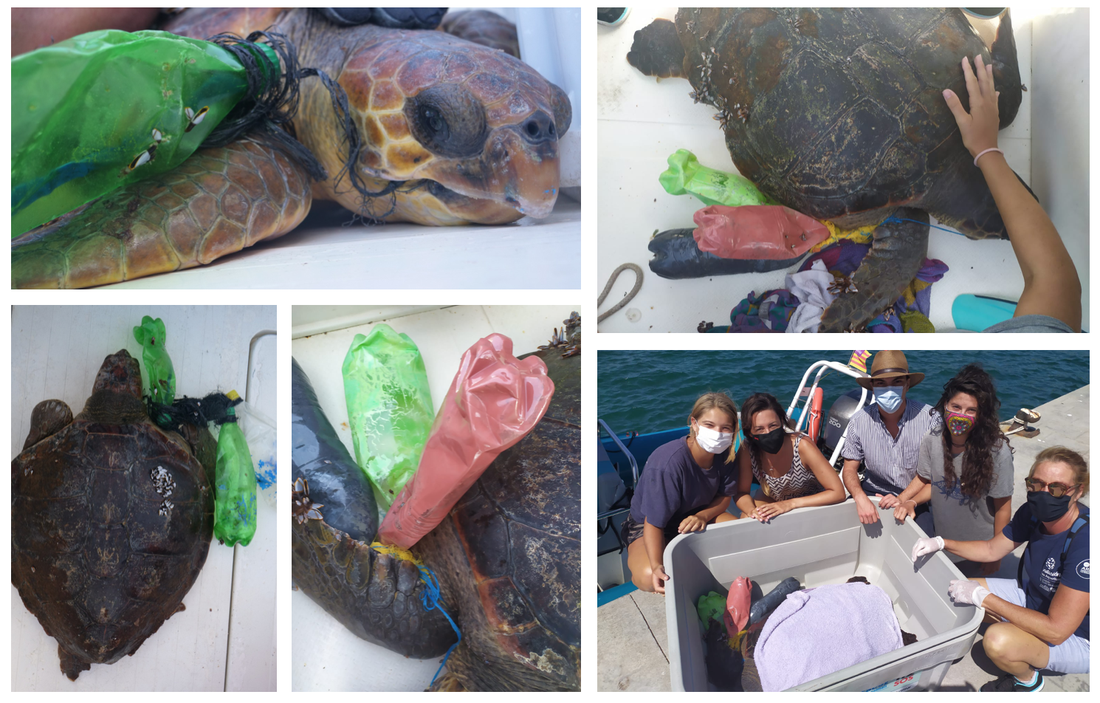 Two turtles rescued from Ghost FAD entanglement this weekend